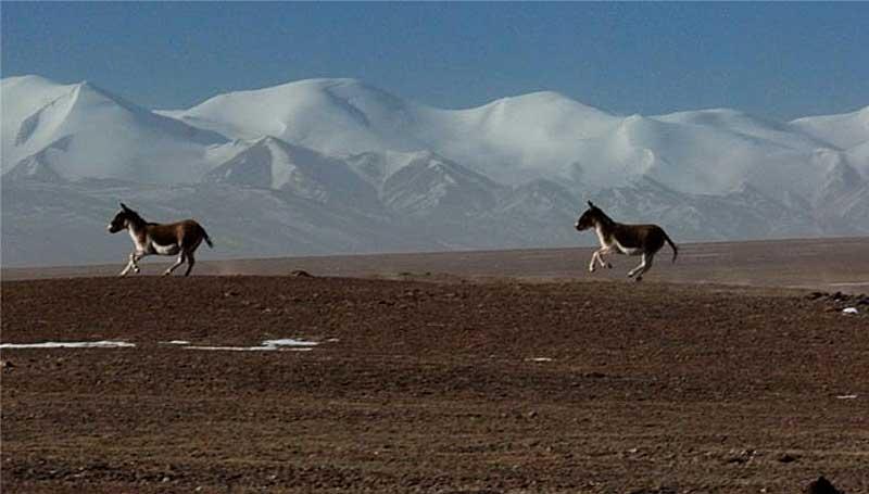 tibetan-wild-asses-1