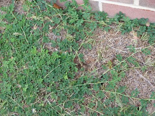Horse owners should walk through their property and review grass areas to remove the plant by physical means or herbicide application.