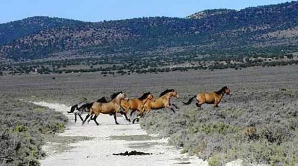 Wild horses in Nevada's Triple B Herd Management Area. Photo: BLM