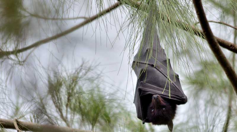 A black flying fox at rest, in Brisbane, Queensland. Photo: By James Niland via Flickr via Wikimedia Commons
