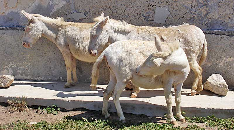 The albino donkeys on Asinara Island. The animals will often seek shade among the derelict buildings during sunny days. Photo: Dirk Hartung CC BY-SA 2.0 via Wikimedia Commons