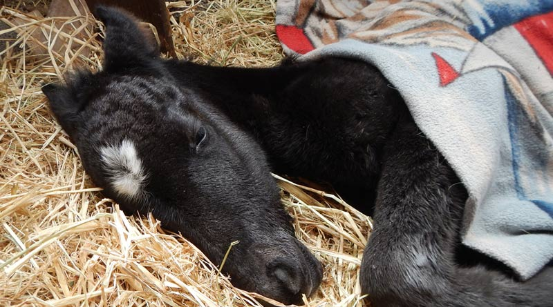 Sleeping baby: Abandoned twin foal Gemini's Star.