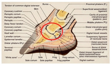 The biological structures of the hoof and the biomechanical focus (red circle).