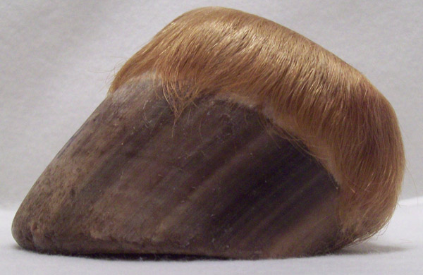 A naturally worn brumby hoof.