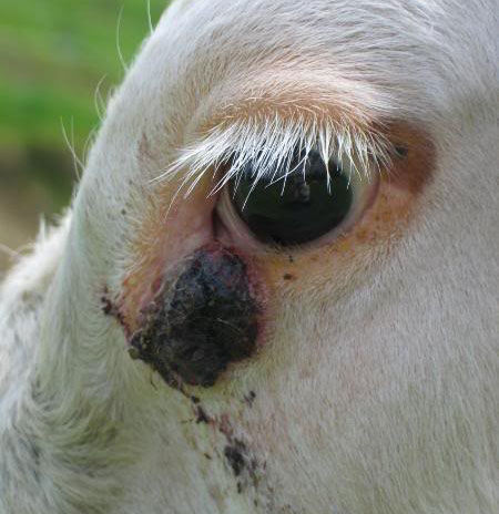 Squamous cell carcinoma is the most common cancer in the horse.