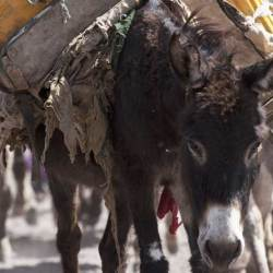 Health issues facing donkeys to take center stage at US symposium