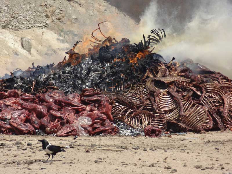 Remains from a slaughterhouse are burnt.