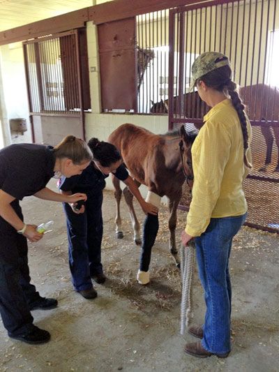 At right, Katie Sheppard, from the UF veterinary college's D.V.M. program, holds a foal at the Equine Sciences Center in Ocala while students Stephanie Spencer and Vicky Liberman examine the youngster.