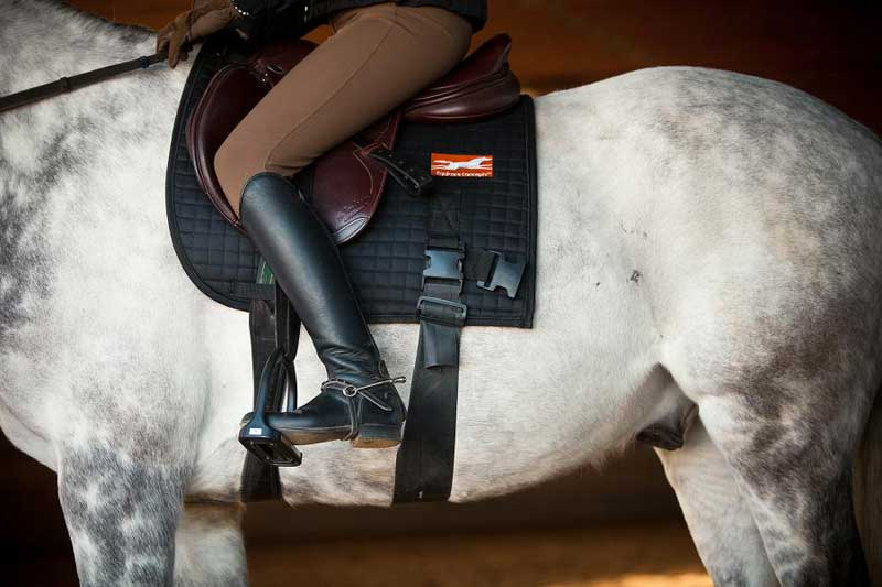 A horse wearing the modified saddle pad with the abdominal resistance band attached. The clip for the hindquarters band can also be seen, which goes around the haunches.