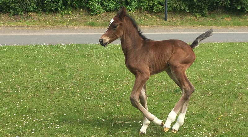 Little VICSI is blissfully unaware of his unique place in the field of assisted reproduction in the horse.