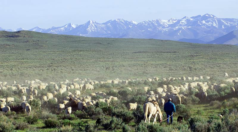 Sheep move through public lands near Shoshone, Idaho.