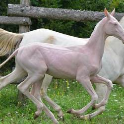 Hairless horses: Researchers explore genetic cause of unusual syndrome in Central Asia