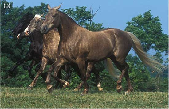 Two Black Silver Rocky Mountain horses, one of the breeds affected by the Silver dilution gene. Photo: Bob Langrish, Tim Kvick, Laura Behning. CC BY 2.0 via Wikimedia Commons