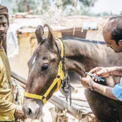 Brooke USA funds veterinary care, proper training and education programs for working equines across Asia, Africa, and Central America through Brooke's worldwide equine welfare programs.