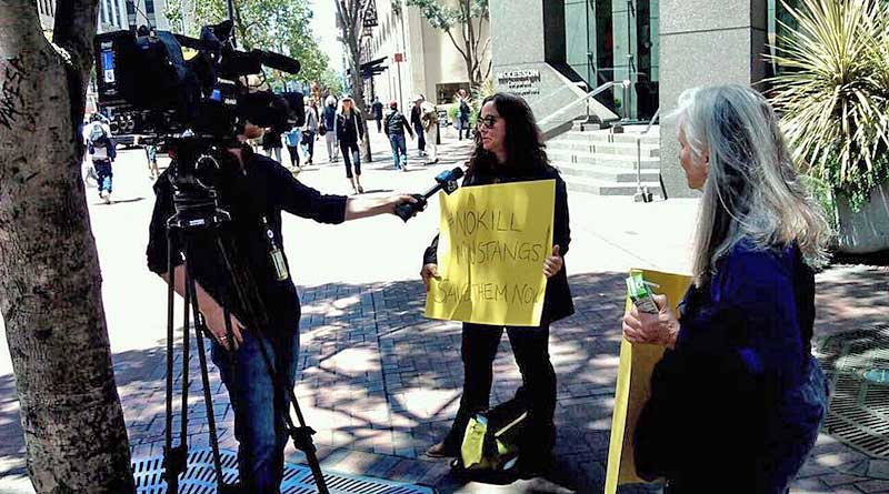 The executive director of Protect Mustangs, Anne Novak, is interviewed by ABC San Francisco on the wild horse issue. Photo: Anne Novak