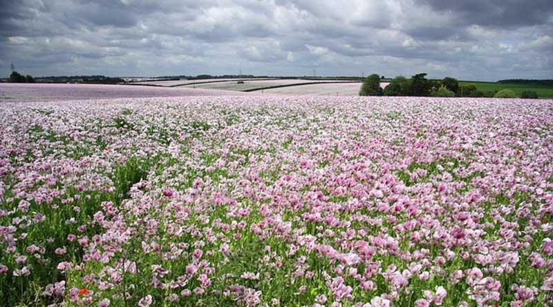 Opium poppy fields near Metheringham, in Lincolnshire, England. Photo: Richard Croft CC BY-SA 2.0 via Wikimedia Commons