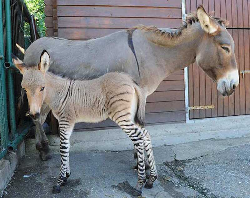 The newborn zebroid with his donkey mother. Photo: Courtesy of A. Massimo; Iannuzzi et al https://doi.org/10.1371/journal.pone.0180158