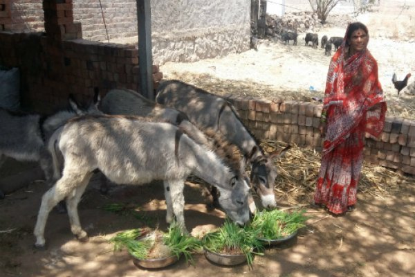 A woman feeds her donkeys green fodder from Brooke's Hydroponics Project.