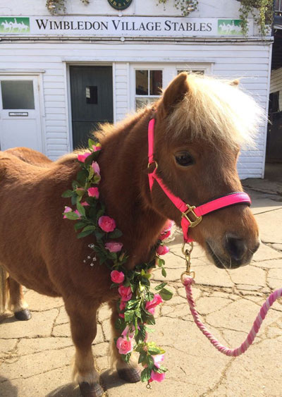 Mini Fat Pony at Wimbledon Village Stables.