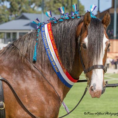 The Australian Clydesdale stallion Highgate Flash Benjamin.