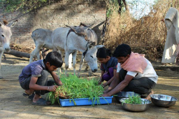 A family collecting green shoots for their donkeys as part of Brooke's Hydroponics Project.