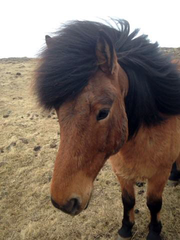 The mystery bug that infected horses in Iceland has been identified.