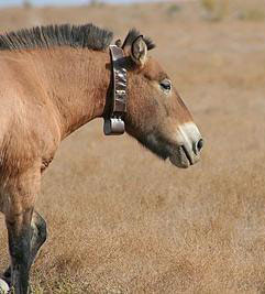 A Przewalski's horse with a tracking collar. S
