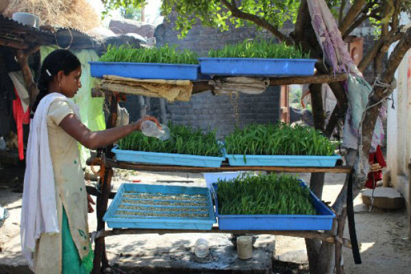 A woman waters her stacked trays of green fodder.Families had found innovative ways of stacking their trays, Brooke says.