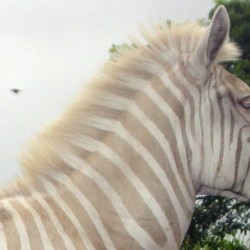 Rare golden zebra Zoe dies at 19 at sanctuary in Hawaii