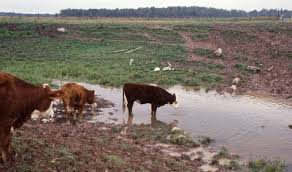 Cattle at a water hole.