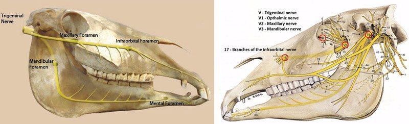 anatomy of horse budras pdf