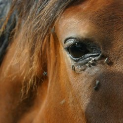 Buzz off! Here's how to keep pesky flies away from your horses