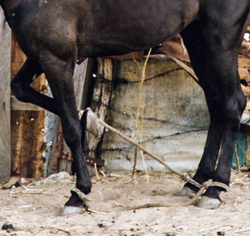 A horse hobbled in Senegal.