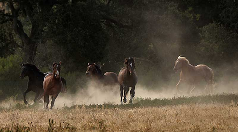 Stallions at Return to Freedom's American Wild Horse Sanctuary. Photo: Tony Stromberg
