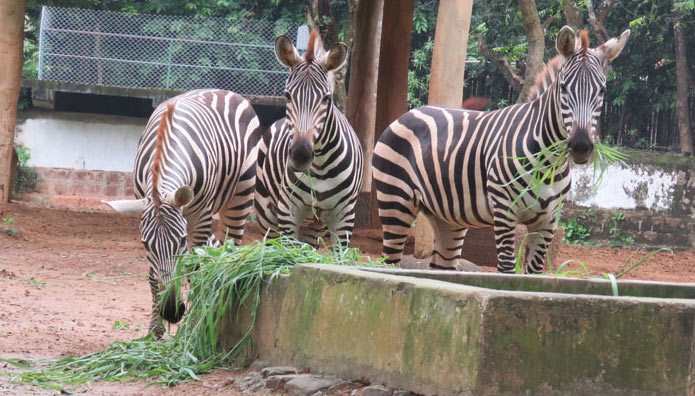 There are no zebras left at India's Nandankanan Zoological Park, with the death of the fourth individual this month.