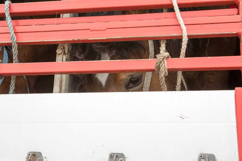 A horse being transported for slaughter in Italy. Photo: World Horse Welfare