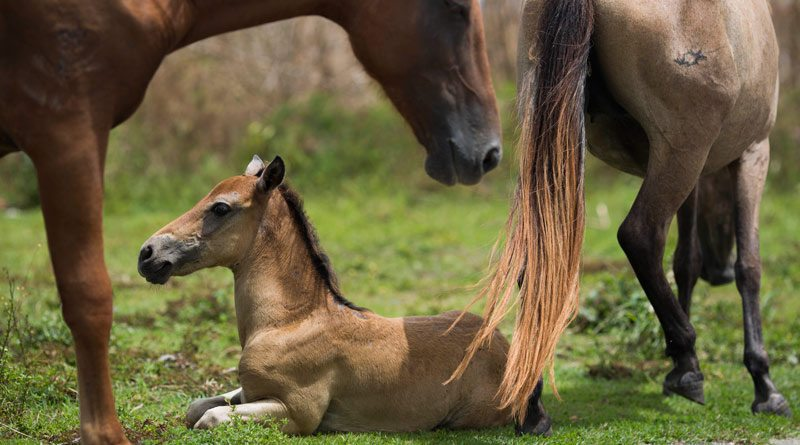 Helping the hurricane horses: Puerto Rico's special Vieques horses are survivors