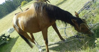 While horses are classed as grazing animals, they also like to partake in a wide array of food items.
