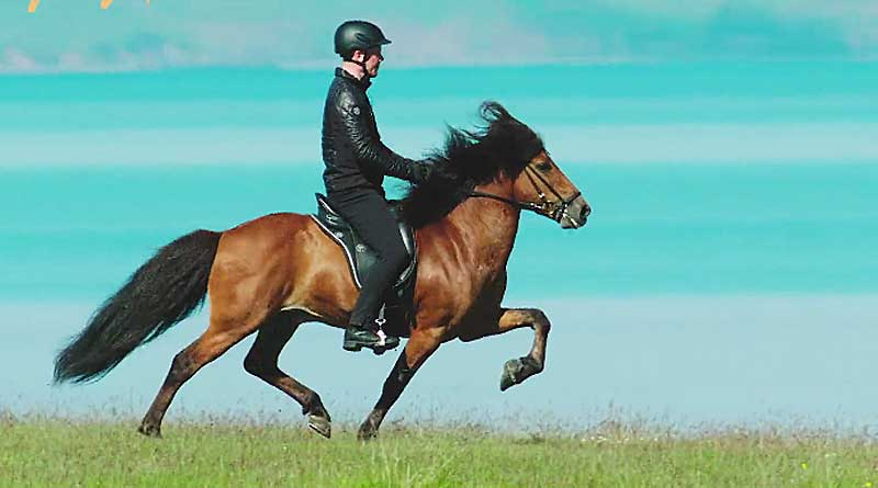 The stallion Narfi performs the flying pace. Photo: Screen grab from Horses of Iceland video