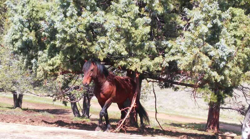 Wild horses graze down all of the grasses and plants under the trees thus removing that fuel for wildfires.