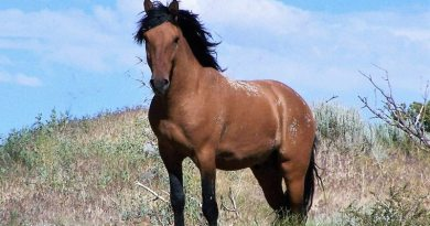 A wild stallion from the Pine Nut Mountain area of Nevada.