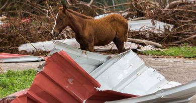 A yearling in the aftermath of Hurricane Maria in Puerto Rico.