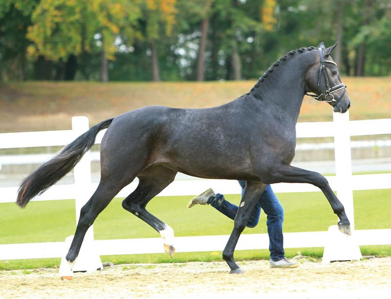 €600,000 colt: The Oldenburg son of Belantis/Sir Tender/Welton/Figaro has been sold to Sweden.