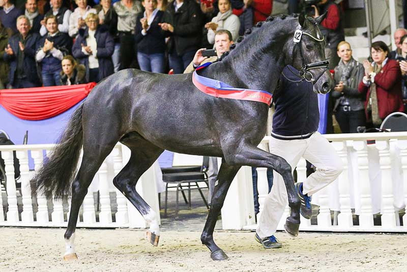 The sale-topping colt by Belantis was also named Champion Stallion at the Oldenburg Stallion Market.