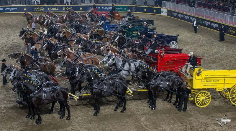 The impressive line-up of hitches in the Royal Six-Horse Draft Championship on Saturday night at the Royal Horse Show in Toronto, Ontario.