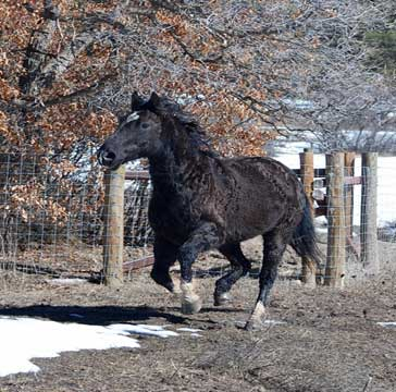 Blackie, owned by the author, is a heterozygous (AG) wild-born curly horse from Nevada. He is pictured with his winter coat.