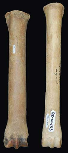 The long, thin, stilt-like leg bone of Haringtonhippus on the right compares to that from a regular horse (Equus). Credit: Grant Zazula
