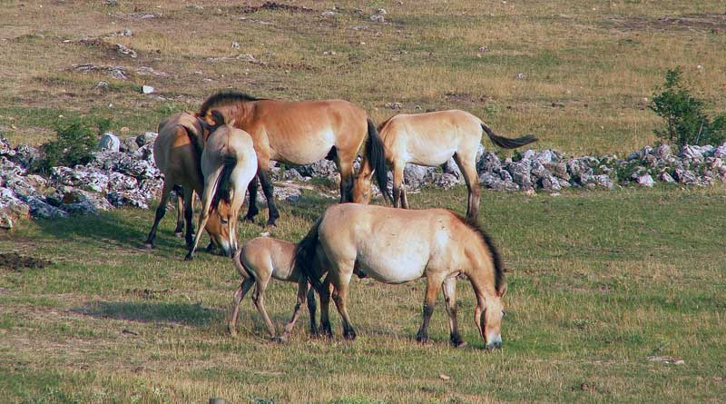 The gut microbiomes of Przewalski's horses, pictured, and their domestic counterparts have come under scrutiny. Photo: Jairo S. Feris Delgado CC-BY-SA-3.0 via Wikimedia Commons
