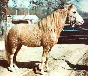 Walker's Prince T was a widely used curly stallion.