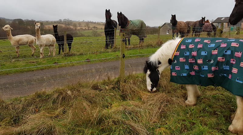 Buggy's new home is with several horses and alpacas in Northumberland.